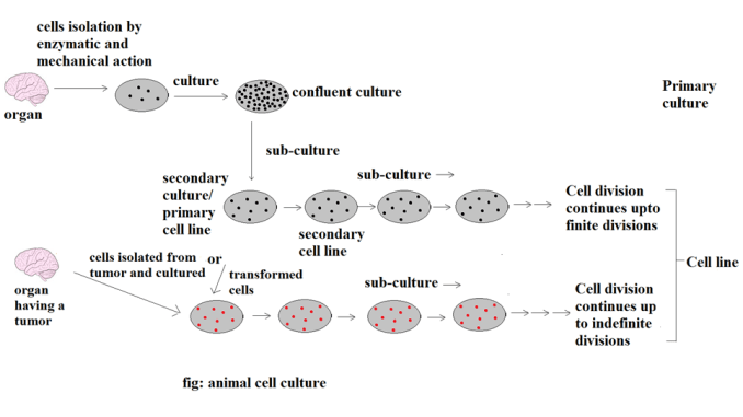 Animal Cell Culture: Introduction, Types, Methods and