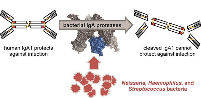 Bacterial IgA protease