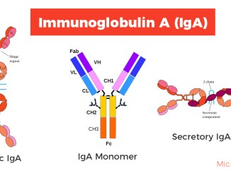 Structure of Immunoglobulin A (IgA)