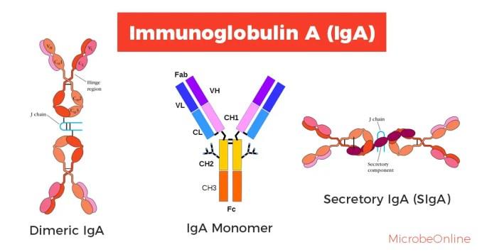 Structure of Immunoglobulin A (IgA)