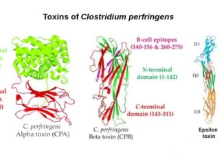 Toxins of Clostridium perfringens