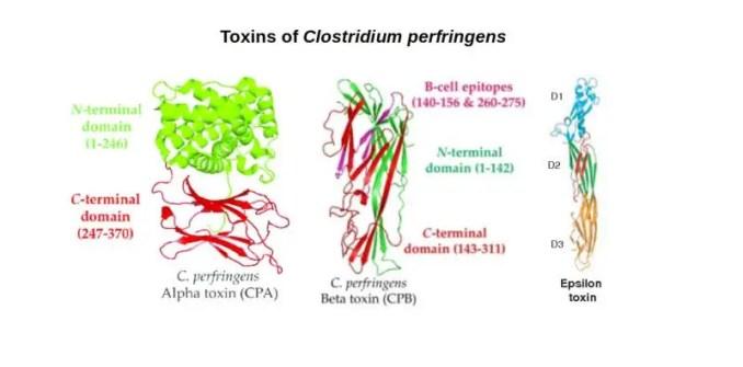 Toxins of Clostridium perfringens