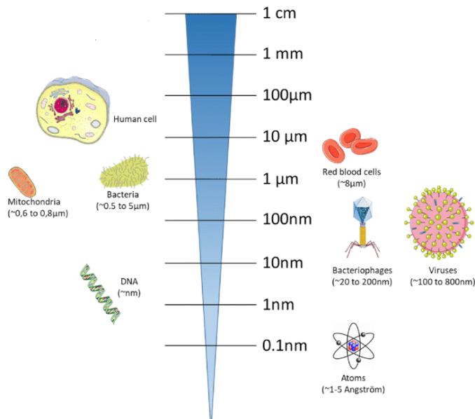 Relative size of human cells, bacteria and virus