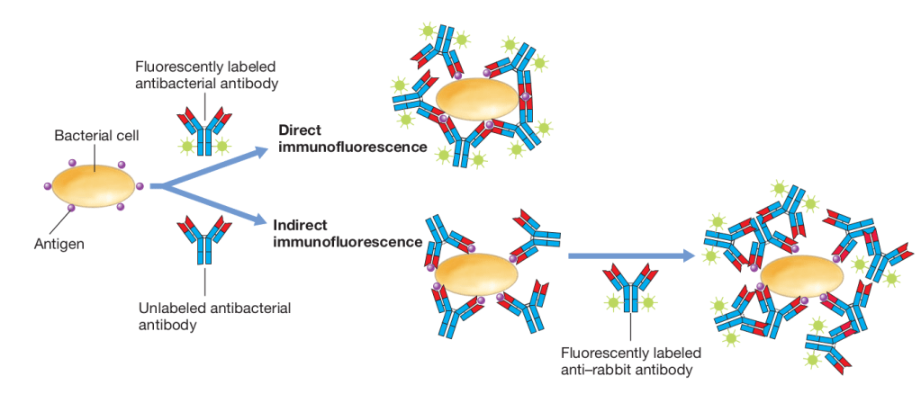 Fluorescent antibody methods for detection of microbial surface antigens