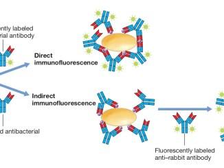Fluorescent antibody methods