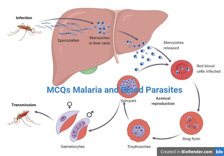 a malária plazmodium kialakulásának vázlata