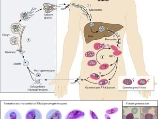 Life cycle of Plasmodium falciparum