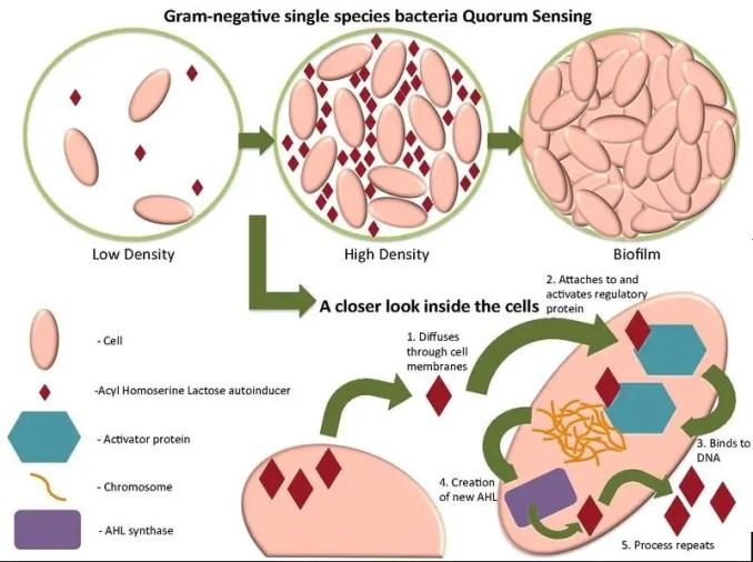 Quorum sensing of Gram-negative cells