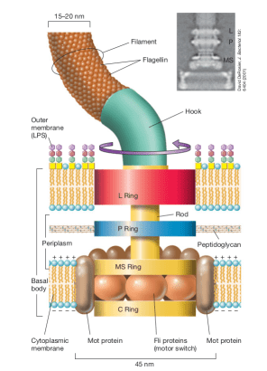 Structure of the bacterial flagella