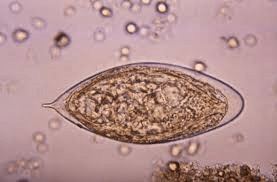 schisto haematobium
