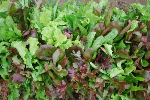 Image result for mesclun mix