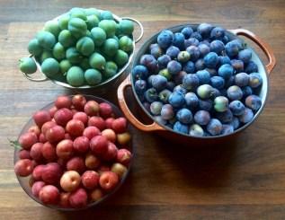 Santa Rosa, Green Gage, Damson plums, 2016