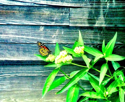 Monarch on newly planted milkweed, June 2016