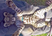 leopard cub sleep with two childrens in Nashik of Maharashtra and mother wake up children