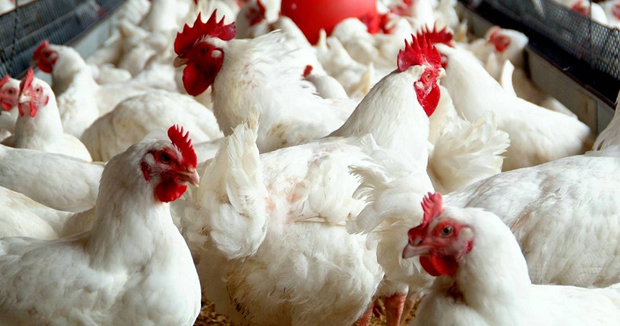 Telugu news Effect of karthika masam ...  Meat sales have fallen by half… If the chicken sales for Rs. 200 in the pre-Karthika masam price, it is currently sold at Rs. 150 per kilo.