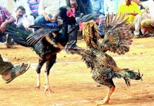 Telugu news Rs.50 crores of rupees Money for the chick Bettings .. The money that was going on ..