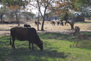 Mwaudi Lutheran Secondary School herd