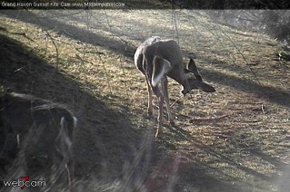 Deer scratching an itch