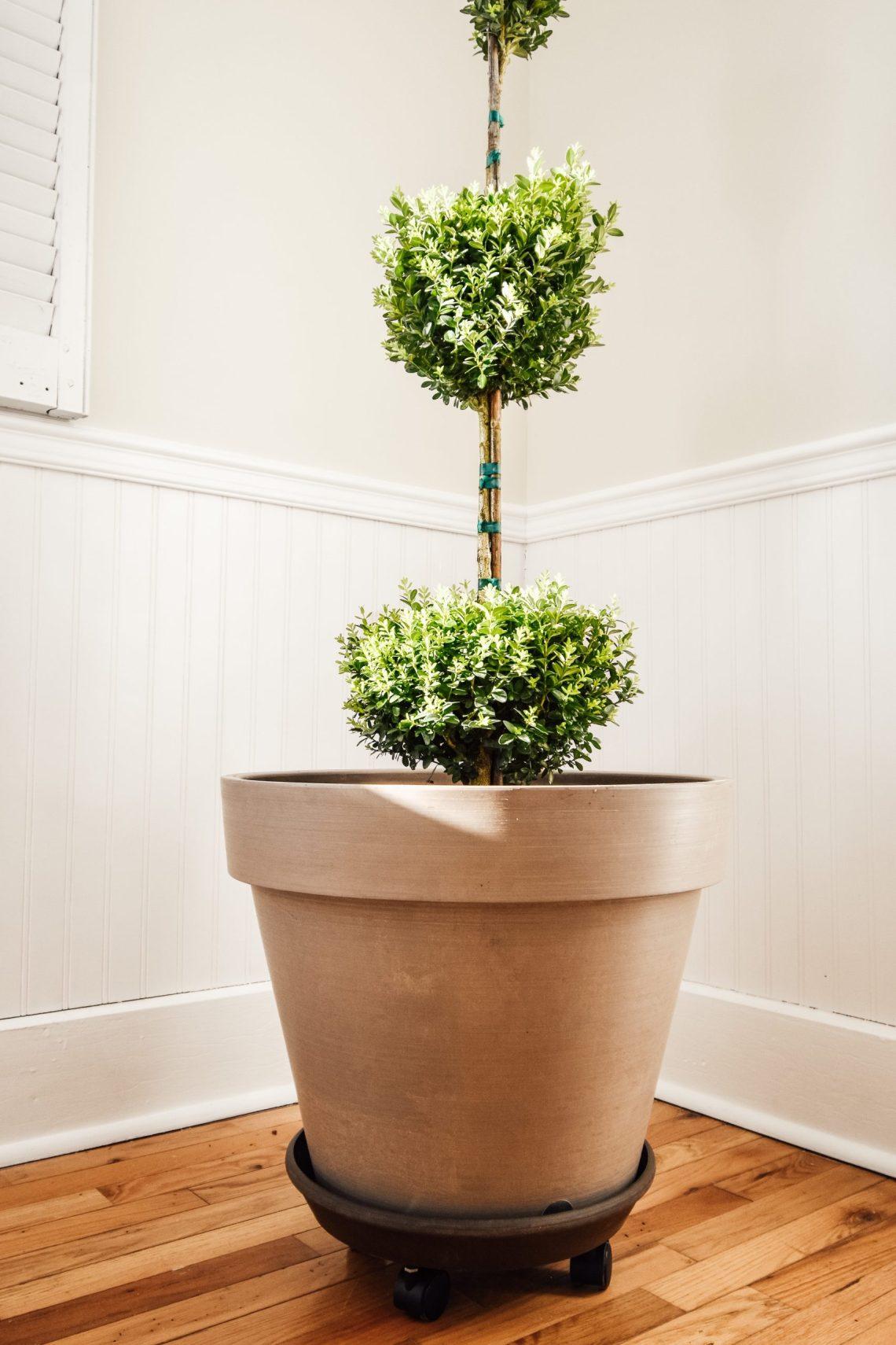 Indoor Boxwood Topiary