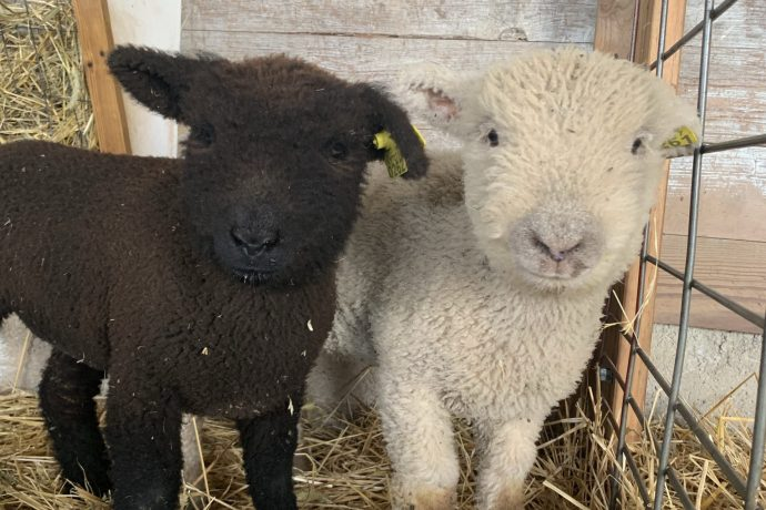 Two New Babydoll Ewes!