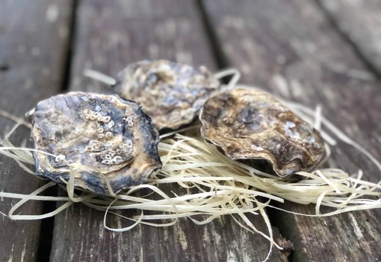 Nyfångade ostron direkt från havet