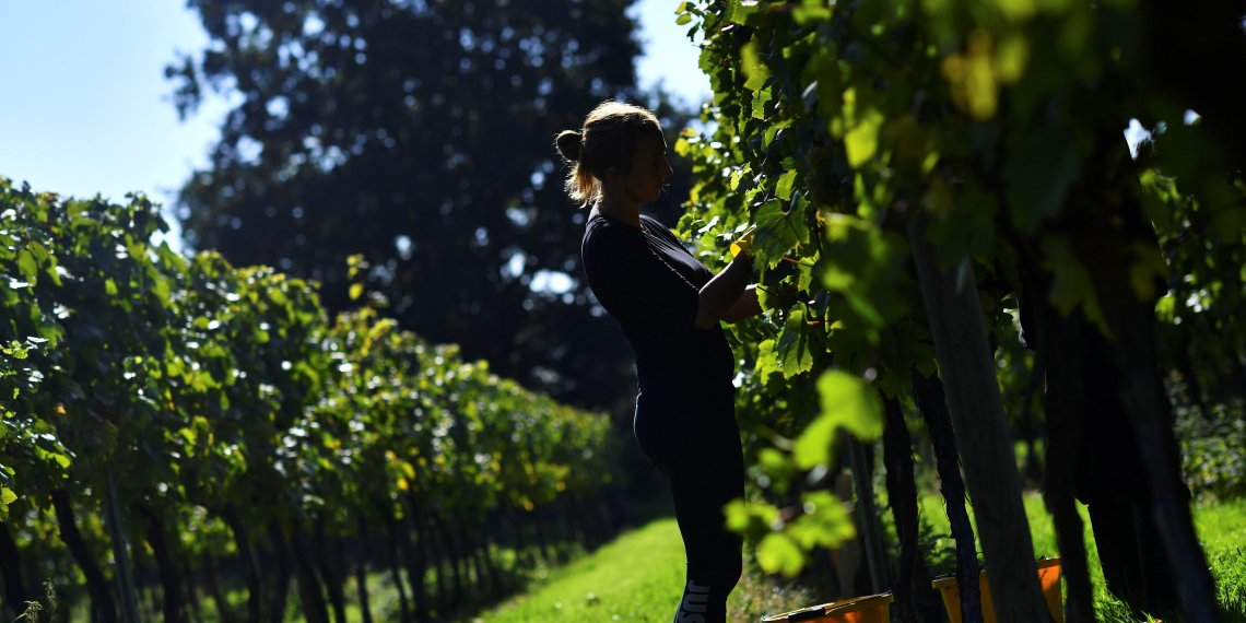 Migrant workers pick grapes at Chapel Down Winery's Tenterden Vineyard in Tenterden, Kent, Britain, October 5, 2018. REUTERS/Dylan Martinez