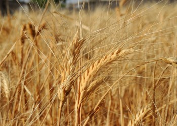 FILE PHOTO: A wheat field is seen in Arbeen, in the eastern Damascus suburb of Ghouta May 31, 2014. Picture taken May 31, 2014. REUTERS/Diaa Al-Din