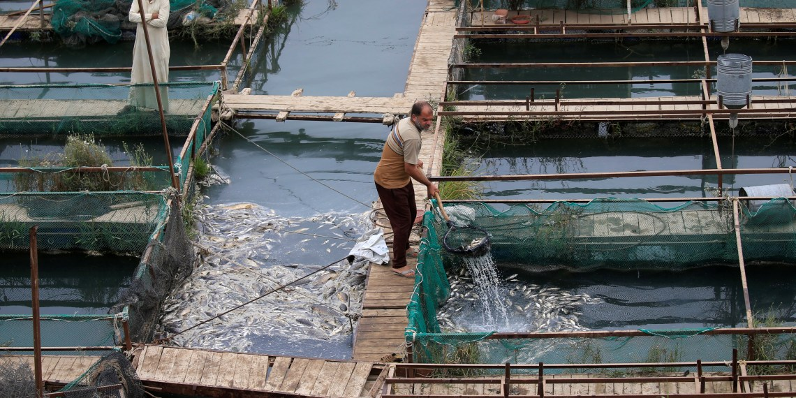 Workers remove floating dead fish in their farm at the Euphrates River in Mussayab district, Iraq November 3, 2018. Picture taken November 3, 2018. REUTERS/Alaa al-Marjani