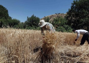 Iraq, which sources its wheat from Australia, the United States and Canada, has specific requirements for its imports. (File/AFP)
