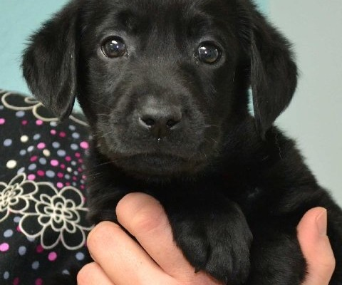 How Cute is a Black Lab Puppy?