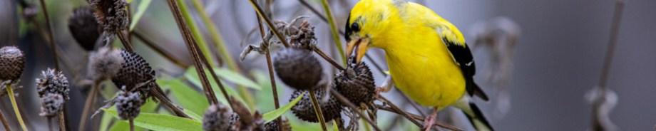 Goldfinch on gray headed coneflower