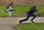 gansa agressividade - O ataque do ganso