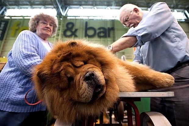 dog1 - Você ou seu cão sabem o que é Crufts?