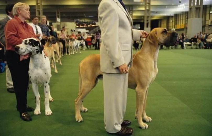 dog6 - Você ou seu cão sabem o que é Crufts?