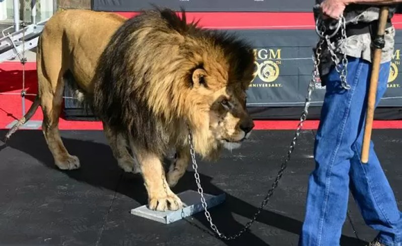 Handled by his handler, Leo the Lion steps onto a cement block for his paw prints during a ceremony at the TCL Chinese Theater celebrating the Metro-Goldwyn-Mayer studio's 90th anniversary on January 22, 2014 in Hollywood, California. AFP PHOTO/Frederic J. BROWN