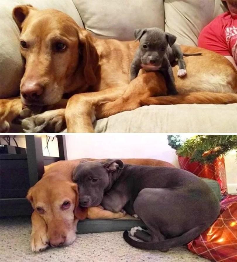 dogs growing up before after 109 594b6767828c6  700 - Fotos de cachorros adultos quando era filhote destaca-se nas redes sociais
