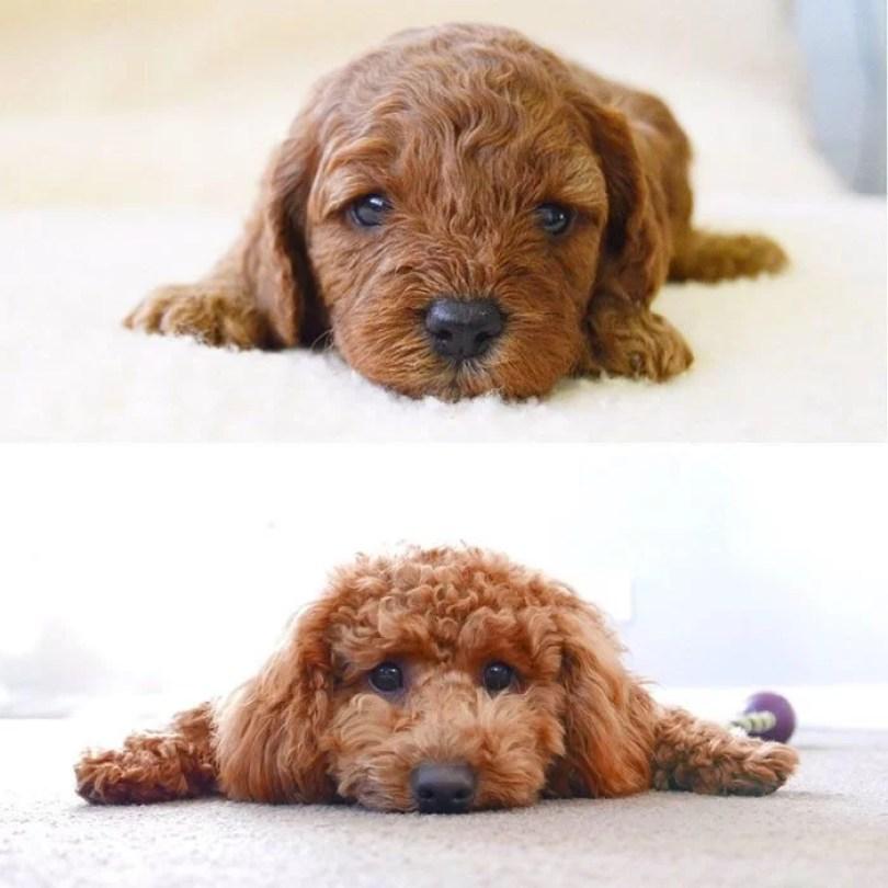 dogs growing up before after 222 594b8ce84bfa6  700 - Fotos de cachorros adultos quando era filhote destaca-se nas redes sociais