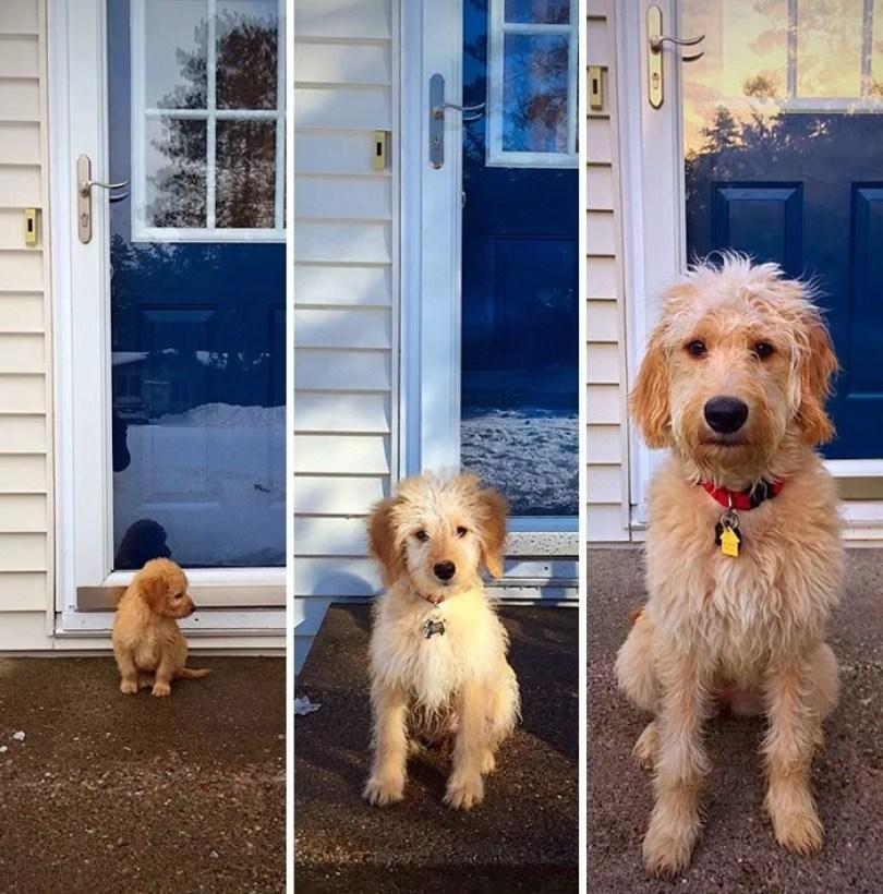 dogs growing up before after user submissions 1 5943bcf053ea0  700 - Fotos de cachorros adultos quando era filhote destaca-se nas redes sociais