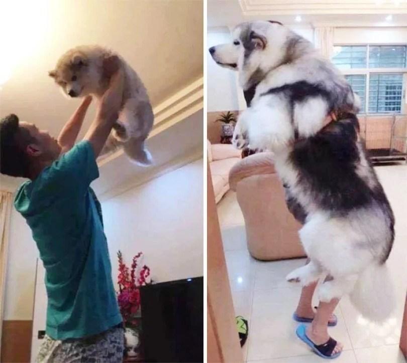 dogs growing up before after user submissions 107 594b666253a82  700 - Fotos de cachorros adultos quando era filhote destaca-se nas redes sociais