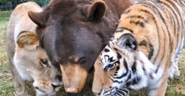 tres amigos urso leao tigre - O jogo de futebol mais demorado de todos os tempos