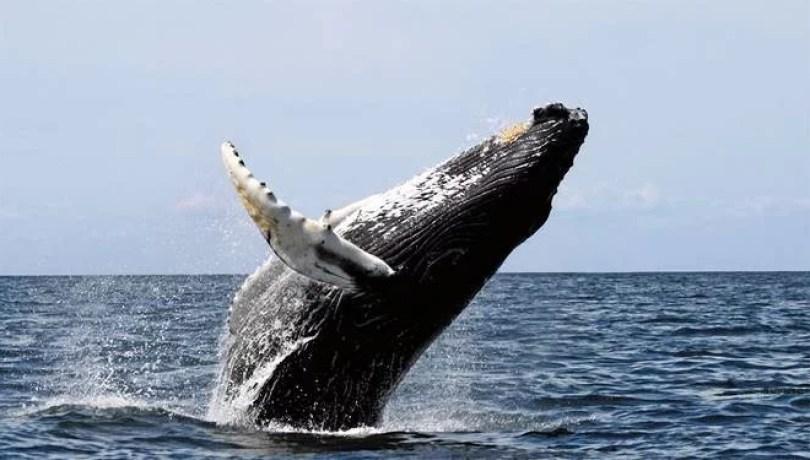 Fotos, Curiosidades, Comunicação, Jornalismo, Marketing, Propaganda, Mídia Interessante baleia-jubarte-2 Baleia Jubarte é filmada durante salto espetacular Curiosidades Fotos e fatos  Baleia Jubarte salta