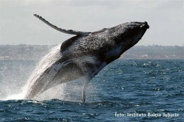 baleia jubarte saltando - Baleia Jubarte é filmada durante salto espetacular