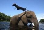 cachorro e o elefante - Vídeo Compilacão Impressionante: Se não fosse filmado ninguém acreditaria