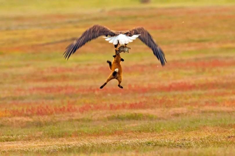 aguia coelho raposa wildlife photography eagle fox fighting over rabbit kevin ebi 6 5b0661edc4434  880 - Incrível! Fotógrafo captura uma batalha rara entre raposa, águia e coelho