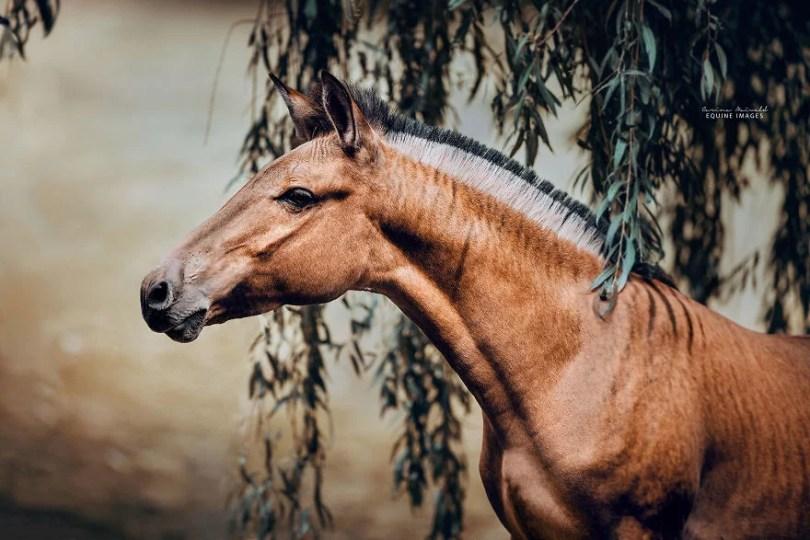 cavalo com zebra zorse zebralo hibridos carinamaiwald zorse - Conheça um híbrido de Zebra com Égua