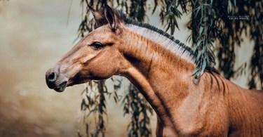 cavalo com zebra zorse zebralo hibridos carinamaiwald zorse - Os motoqueiros-camelô de Hanoi