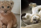 simba-verdade-na-vida-real-origina-lion-king-live-action-baby-simba-bahati-dallas-zoo-coverimage2