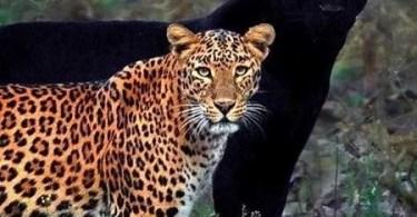 leopardo e pantera negra em foto rara 1595685292281 v2 450x600 - Casal encontra locais de filmagem de filmes e séries de TV e recriam cenas memoráveis