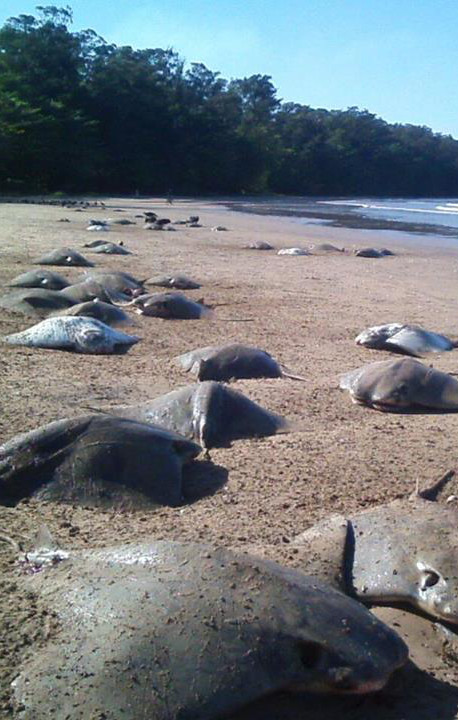Foram dezenas de arraias encontradas mortas na orla da praia de Camburi, em Vitória