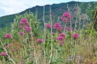 Centrantus ruber (Valerian)